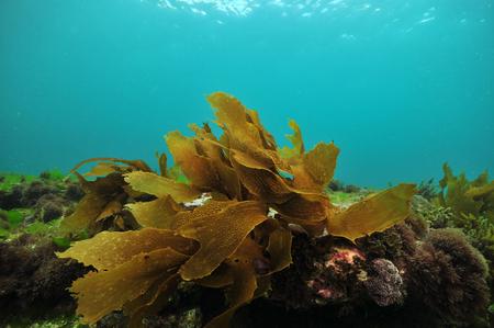 Small frond of brown kelp Ecklonia radiata on flat rock covered with short algae. Standard-Bild