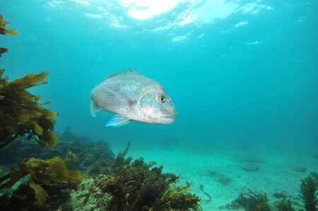 Large Australasian snapper Pagrus auratus turning in front of camera. Stock Photo