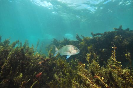 Australasian snapper Pagrus auratus among dense brown sea weeds with visible ocean surface above.
