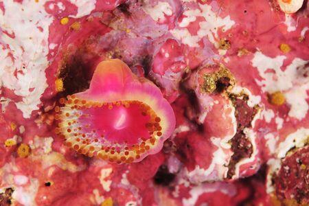 Single jewel anemone Corynactis australis on rock covered with pink coralline algae.