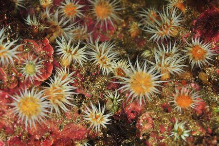 Garden of white striped anemones Anthothoe albocincta on rocks covered with pink coralline algae.