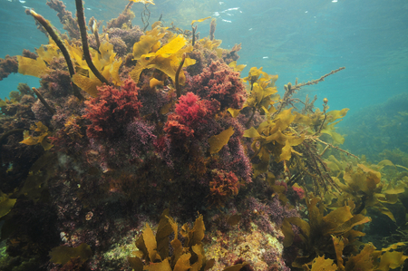 Colourful sea weeds covering rock right under sea surface.