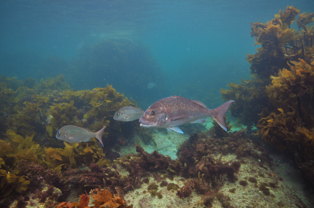 Australasian snappers Pagrus auratus among brown sea weeds of temperate Pacific ocean.