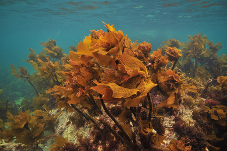 Bright brown stalked kelp Ecklonia radiata growing on rocks right under ocean surface.