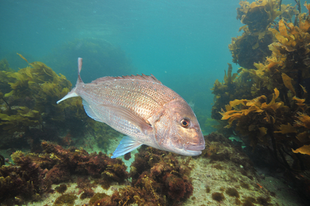 Big Australasian snapper Pagrus auratus turning right in front of camera.