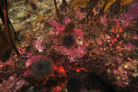 Rocky reef in shade of kelp canopy covered with encrusting invertebrates and hard coralline algae with some sea urchins on it. Stock Photo