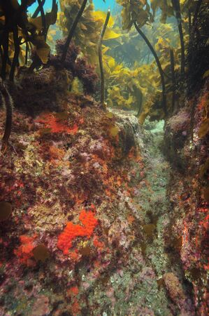 Gutter with colourful encrusting invertebrates under kelp forest canopy. Stock Photo