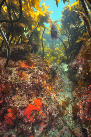 Snapper fish above rocky bottom under kelp forest canopy. Stock Photo