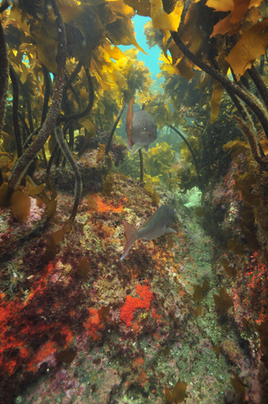 Two Australasian snappers above rocky bottom under kelp forest canopy. Stock Photo