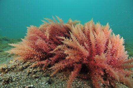 Close-upmening van rode zeewierstruiken op vlakke overzeese bodem van ruw zand.