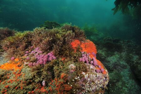 Rock covered with purple compound tunicates and red encrusting sponges in shade of overhang.