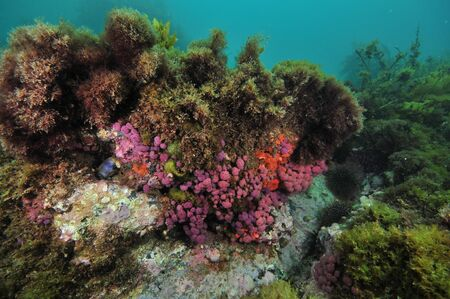 seaweeds: Purple compound tunicates on small overhang of rocky reef covered with various seaweeds. Stock Photo