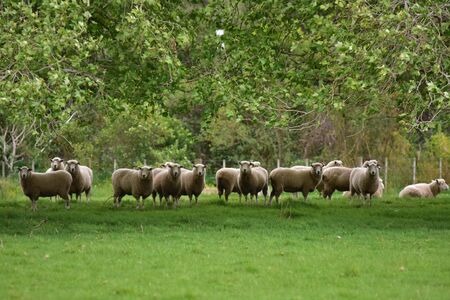Sheep gathered on green grass under tree branches looking into camera. Stock Photo