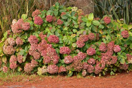 Hydrangea bushes with green leaves and red compound flowers. Stock Photo