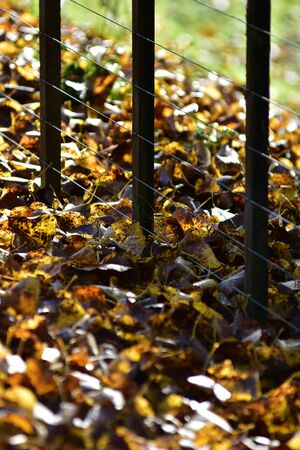 Yellow and brown leaves on ground along wire cattle fence in autumn.