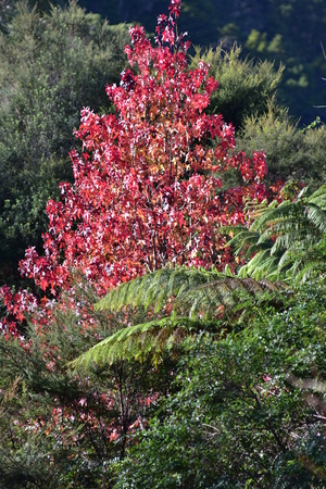 Bright red colored leaves on tree in autumn.