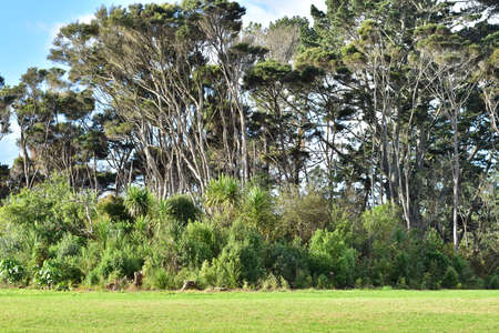 Typical view of New Zealand (North Island) park areas of dense bushes and cabbage trees coverage with tall both native and introduced trees above.
