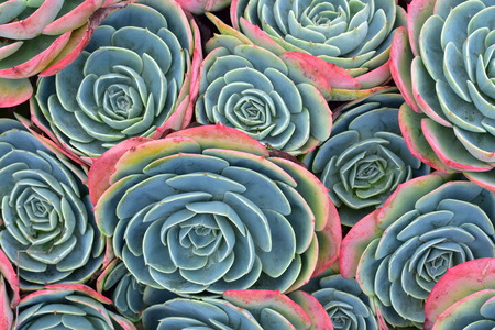 Pattern of cold colors and thick leaves and petals of succulent flowers.