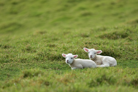 Two isolated young lambs resting on  grass. Their wool is still quite clean and white.