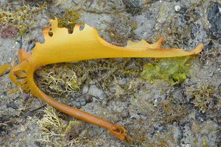 Frond of brown stalked kelp removed from its holdfast drying on rock face at low tide. Stock Photo