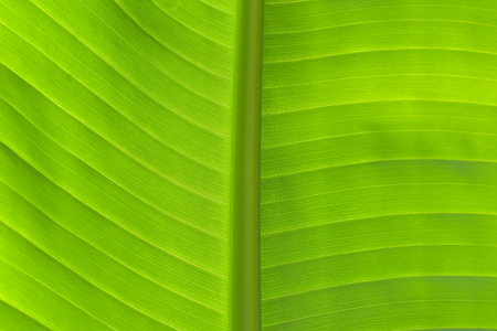 Close-up detail of fresh green banana leaf in horizontal view showing primary and secondary veins in back light. Stock Photo