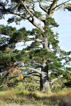 Tall pine conifer tree with slightly bent trunk and not many main branches mostly on one side. Some of needles are yellow dry. Stock Photo