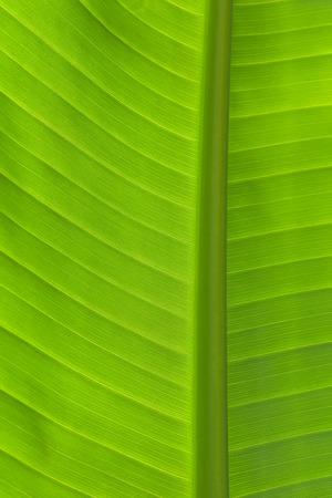 Close-up detail of fresh green banana leaf in vertical view showing primary and secondary veins in back light. Stock Photo