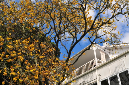 Tree with dark bark and no leaves but plenty of bright yellow flowers with traditional white wooden villa in background. 写真素材