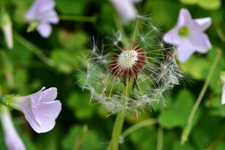 Dandelion loosing parachute seeds among other greenery. Stock Photo