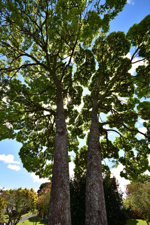 Wide angle view of two tall trees with massive trunks and distant extensive treetops.