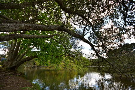 Huge bent tree branches with bright green leaves reflecting on calm lake surface.