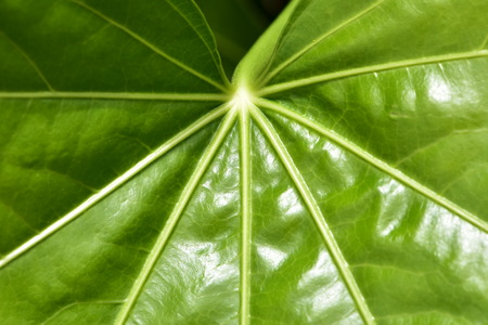 Detail of large shiny green leaf with  clearly visible simple palmate venation. Stock Photo