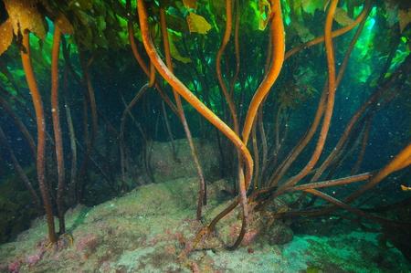 Sturdy stalks of dense kelp forest of brown Ecklonia radiata holding fast to flat rocky bottom. Stock Photo
