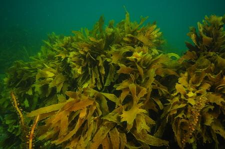 Curling dense fronds of brown kelp Ecklonia radiata in murky waters of southern temperate Pacific Ocean. Stock Photo