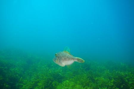 New Zealand triggerfish Parika scaber swimming away from camera above fields of kelp Ecklonia radiata. Stock Photo
