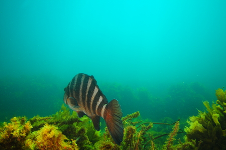 Large banded morwong Cheilodactylus spectabilis swimming away from camera above dense growth of seaweeds in hazy waters.