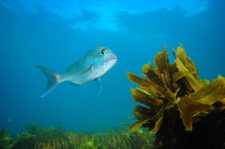 Adult Australasian snapper Pagrus auratus swimming above fields of seaweeds in blue ocean.