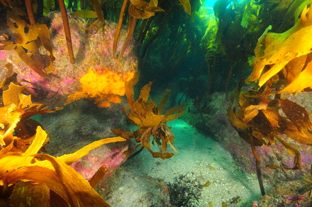 Gutters under canopy of kelp forest covered with hard pink coralline algae and brightly colored invertebrates. Stock Photo