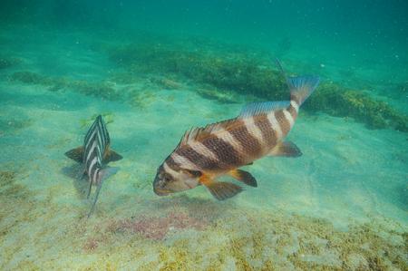 Two banded morwongs Cheilodactylus spectabilis feeding on hard algae from flat bottom of mixed sand and rocks. Stock fotó