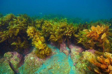 Rocks protruding from sandy bottom covered in dense kelp forest of brown seaweed Ecklonia radiata.