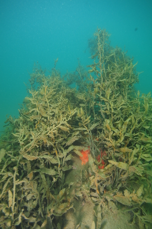 Red encrusting sponge growing on boulder under dense growth of brown sea weeds covered by layer of fine sediment. Stock Photo