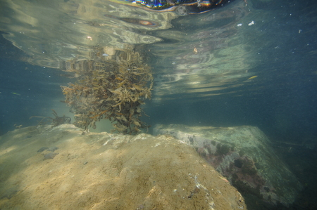 Large rocks covered with fine sediment and bush of brown sea weed reflecting on sea surface in very shallow water.