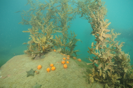 Globular yellow sponges and cushion sea stars on open surface of boulder covered with fine sediment with brows sea weeds around. Stock Photo