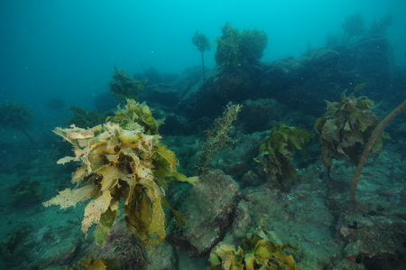 Rugged underwater terrain with boulders and with deteriorating forest of brown seaweeds.