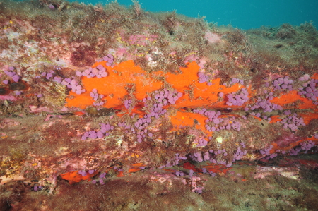 Underwater wall with colorful growth of orange encrusting sponges and purple compound tunicates. 版權商用圖片