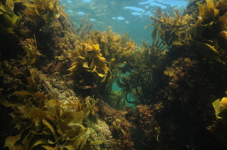 Rocky reef in shallow water covered with rich growth of stalked kelp and other seaweeds. Banco de Imagens