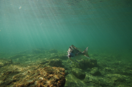 Australasian snapper Pagrus auratus turning towards camera above flat rocky bottom.