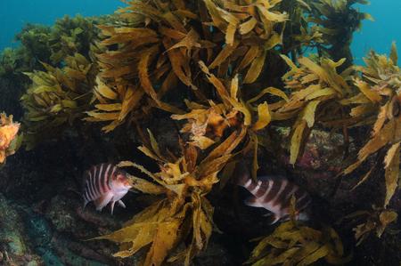 Two Australian banded morwongs Cheilodactylus spectabilis hiding under rocky reef overhang behind kelp fronds.