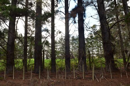 Tall pines standing in row behind livestock wire fence with fresh green pasture behind them.
