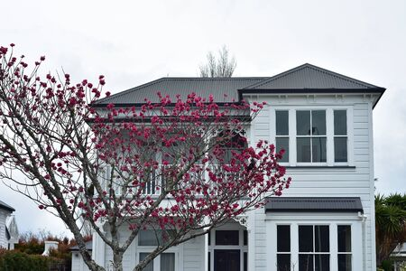 Classic white two-story wooden house with tree with saturated pink flowers in front of it.